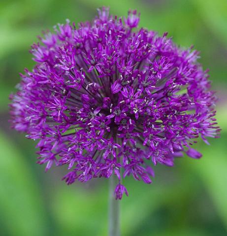 Allium Drumstick Bulbs Corms Perennial Garden Plant Spring Purple Blooms Flower 10x Bulbs
