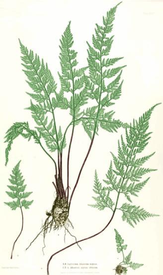 9cm Pots Arachnoides aristata Variegata Evergreen Woodland Fern Compact Shrub