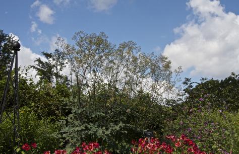 Thalictrum 39 elin 39 for Thalictrum rochebrunianum rhs