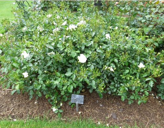 Rosa flower carpet white class 3 rosaflowercarpetwhiteforsum3garnonswilliams mightylinksfo Image collections